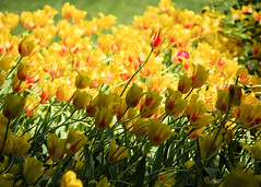Splash of Yellow (fantommst) Tags: park nyc flowers usa ny newyork yellow us spring flora tulips central lisaridings fantommst