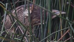 Australasian bittern (Botaurus poiciloptilus)-4028 (rawshorty) Tags: birds australia canberra act ais rawshorty