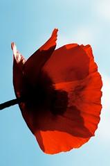 Under the poppy (IanAWood) Tags: manualfocus hertfordshire rickmansworth d300 flowermacros flowercloseups flowersofspring walkingwithmynikon nikkormicropce85mmf28d