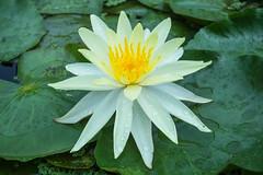 White lily (Sougata2013) Tags: india flower macro nature closeup nikon waterlily lily natural mandi himachalpradesh whitelily nikond3200 kamand iitmandi