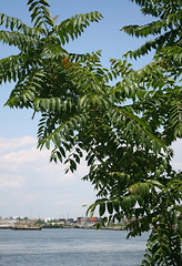 AILANTHUS in Staten Island, New York, USA. June, 2014 (Tom Turner - SeaTeamImages / AirTeamImages) Tags: nyc usa plant newyork tree green nature leaves unitedstates statenisland deciduous ornamental bigapple invasivespecies atreegrowsinbrooklyn treeofheaven ailanthusaltissima ghettopalm noxiousweed tomturner ailanthus simaroubaceae stinktree foulsmellingtree treeofhell