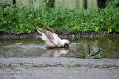 Someone likes this weather (JanBran) Tags: bird water birds fun mutant magpie bathing splash floods