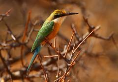 Somali Bee-eater (Rainbirder) Tags: kenya ngc samburu somalibeeeater meropsrevoilii rainbirder