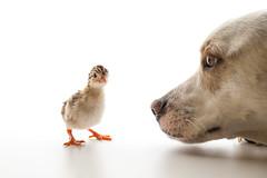 IMG_0796-2 (vitaminbea (Focus) - bea@vitaminbea.ca) Tags: bird chicken animal birth egg guineafowl