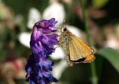 Skipper (Mr Grimesdale) Tags: skipper butterflies mrgrimesdale britishbuteerflies