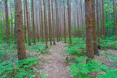 A Walk Through the Pines (Explore 8-6-2014) (Mi Bob) Tags: unitedstates michigan ludington hoffmaster nortonshores