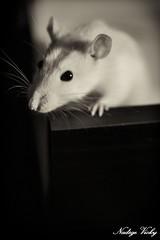 Rats2 (nad.vicky) Tags: rat noir animaux et blanc rongeurs