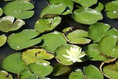Water lily (ddsnet) Tags: plant flower waterlily sony taiwan cybershot   taoyuan aquaticplants        rx10    nymphaeatetragona