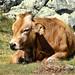 Vaca asturiana