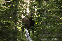 """Cow Moose • <a style=""""font-size:0.8em;"""" href=""""http://www.flickr.com/photos/63501323@N07/14719422058/"""" target=""""_blank"""">View on Flickr</a>"""