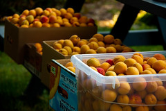 Apricots 3 (LongInt57) Tags: pink blue food orange canada tree green yellow fruit garden table picnic bc okanagan orchard plastic clear cardboard crop boxes kelowna apricots