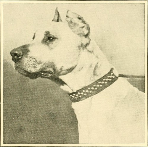 "Image from page 116 of ""The new book of the dog : a comprehensive natural history of British dogs and their foreign relatives, with chapters on law, breeding, kennel management, and veterinary treatment"" (1911)"