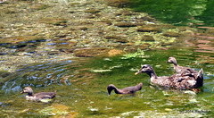 DSC_0319 (rachidH) Tags: sea lake birds geese mediterranean hellas ducks goose greece waterfowl kefalonia canard oiseaux muscovy oie karavomylos rachidh melissany