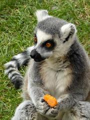 Eating my carrot! (samanthaturner1) Tags: park wildlife conservation lemur carrot doncaster southyorkshire yorkshirewildlifepark