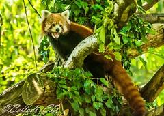 _DSC4349 (Elisabetta - Bettadi) Tags: cats proud fauna cat wildlife natura redpanda felini fiero gatto animali pandarosso natureanimals natureandanimals magneticeyes sguardomagnetico naturaeanimali parparcofaunisticolatorbiera parkinthebog parkthebog
