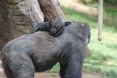 Baby Gorilla (hollycastillo) Tags: life family baby love zoo gorilla birth mother ape