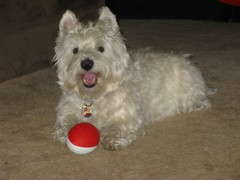 """8/12B ~ """"Recharging"""" (ellenc995) Tags: playing riley football westie westhighlandwhiteterrier resting ruby3 coth supershot akob abigfave citrit pet100 rubyphotographer 100commentgroup challengeclub coth5 naturallywonderful thesunshinegroup sunrays5 12monthsfordogs14"""