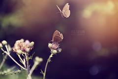 IMG_8045 (Miss_Teryland) Tags: sunset flower green butterfly garden insect bokeh gras gatekeeper schmetterling distel ochsenauge