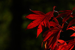 Mapel leaves (siddharthasen42) Tags: autumn red colour nikon acer mapel ssen