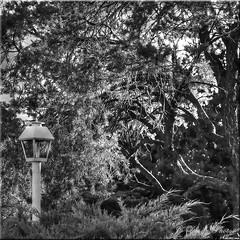 Monochrome (B&W) Bokeh Thursday-Lamp Post (Square Crop) HMBT! (Jo-Cooling To 80's :)) Tags: lamppost bushes inmyneighborhood morningwalkwithshizandra monochromeblackandwhitebokehthursday
