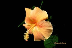 Hibisco/Hibiscus/Cayena (Altagracia Aristy Sánchez) Tags: américa hibiscus hibisco tropic caribbean antilles laromana cayena caribe repúblicadominicana caraïbe dominicarepublic trópico antillas quisqueya altagraciaaristy fujifilmfinepixhs10 fujihs10 fujifinepixhs10