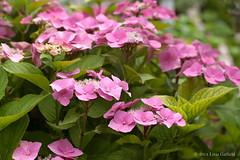 Hydrangea macrophylla (foto99) Tags: pink flowers plant detail macro garden botanical hydrangea shrub perennial hortensia macrophylla