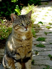 Davy Croquette (b.four) Tags: cat chat gatto alpesmaritimes cagnessurmer coth coth5 ruby10 ruby5