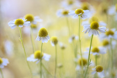 Chamomile (Mandy Disher) Tags: summer white flower yellow daisy wildflower chamomile chamaemlumnobile differentialfaocus