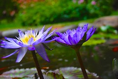 Some blues for Monday! (ineedathis) Tags: summer white flower green nature beauty yellow garden pond waterlily lily spiderweb bee exotic watergarden tropical nymphaea waterplant starofsiam nikond80