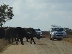 Krugerpark (jen&co) Tags: southafrica buffalo krugerpark buffel 2014 zuidafrika sonyhx400v
