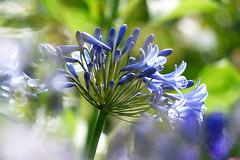African Lily (evisdotter) Tags: flowers blue macro bokeh blommor agapanthusafricanus africanlily sooc afrikaslilja