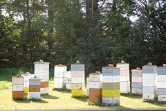 August 12, 2014 (Jeannette Greaves) Tags: b canada robert field purple manitoba bee honey miel farms michel borage canola hives