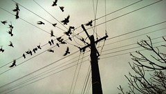 Pigeons. (caleballison) Tags: new morning newzealand sky tree birds clouds flying pigeon pigeons cable powerlines auckland zealand powerpole birdonawire
