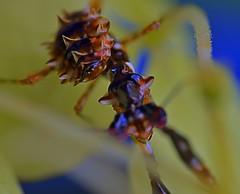 Pseudocreobotra wahlbergii, L3 (_papilio) Tags: macro canon mantis nikon invertebrate papilio mantid arthropod mpe65 sigma150mm wahlbergii pseudocreobotra spinyflowermantis d800e