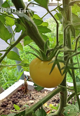 "Heirloom Garden Peach Tomatoes • <a style=""font-size:0.8em;"" href=""http://www.flickr.com/photos/54958436@N05/14969048735/"" target=""_blank"">View on Flickr</a>"