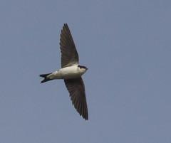House Martin (Darran Jones) Tags: bird nature birds martin bif birdinflight housemartin hengistburyhead canon400mm canon600d droset