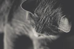 love (Cla Mereu) Tags: pet cats pets cat grigio occhi felino gatto gatti animali micio certosino
