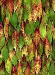 56130.01 Oenothera tetragona (horticultural art) Tags: leaves pattern oenothera eveningprimrose oenotheratetragona horticulturalart