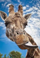 Giraffe Tease (atypeofmagic) Tags: niagara safari giraffe bigmomma safariniagara