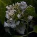 hydrangea macrophylla blushing bride, myyard, jdy179 XX201006280948.jpg