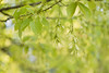Zephyr Chimes (Synapped) Tags: tree green maple pod branch seed helicopter approved