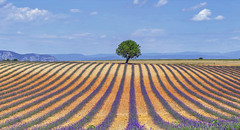 Loneliness (Fil.ippo) Tags: flower tree field landscape geometry lavender lonely provence fiori albero filippo provenza lavanda d7000 filippobianchi