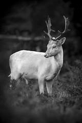 Bradgate Park White Deer (hedgehead2010) Tags: park white black canon deer 7d l f56 56 400mm bradgate leicter