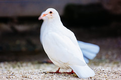 White Dove (PatiPhotography.com) Tags: white bird beautiful beauty animal photography hope freedom wings peace pigeon dove religion feather free grace photograph spiritual pure purity whitebird whitepigeon whitedove whitedoves patiphotography patrycjapolechonska