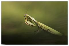 Mante religieuse femelle (Mantis religiosa) (Denis.R) Tags: france canon 100mm lorraine libre insecte moselle sauvage mantereligieuse mantisreligiosa denisr 5dmarkiii denisrebadj canon100mmisl28