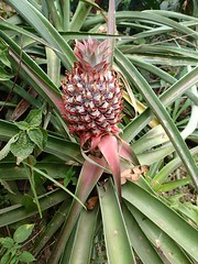 "Ananas dans la plantation pour attirer les insectes • <a style=""font-size:0.8em;"" href=""http://www.flickr.com/photos/113766675@N07/15265939206/"" target=""_blank"">View on Flickr</a>"