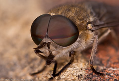 Horse-fly (Tubs McHam) Tags: macro insect fly wildlife sigma105mmmacro extentiontubes importedkeywordtags marumiringflash matthewpaullewis tubsmcham