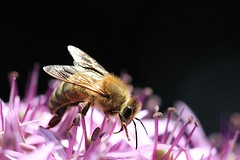 Honey bee (kitz-travellers) Tags: flower macro canon insect 100mm bee makro insekt honeybee allium nahaufnahme biene
