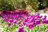 _MG_4349 (TobiasW.) Tags: spring frühling fruehling garden gardenflowers gartenblumen gärten garten blue mountains nsw australien australia backyard public
