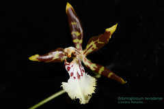 Odontoglossum nevadense 6183 (A. Romanko) Tags: odontoglossum nevadense andrey romanko